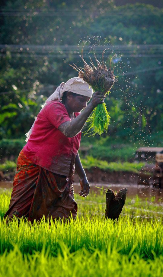 woman threshing grains